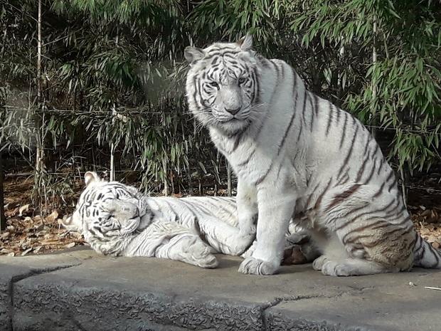 Everland South Korea Tiger